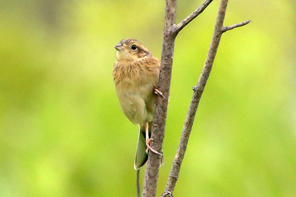 ホオジロ(幼鳥)-176