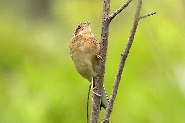 ホオジロ(幼鳥)-177