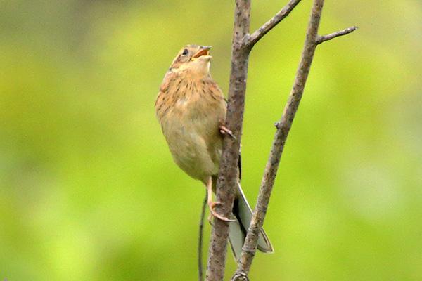 ホオジロ(幼鳥)-178
