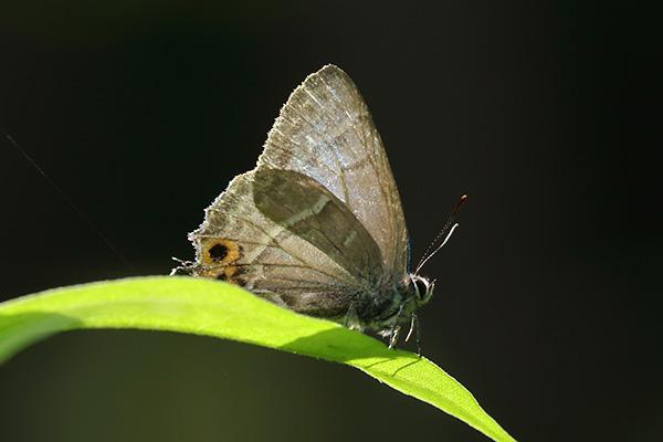 メスアカミドリシジミ-11