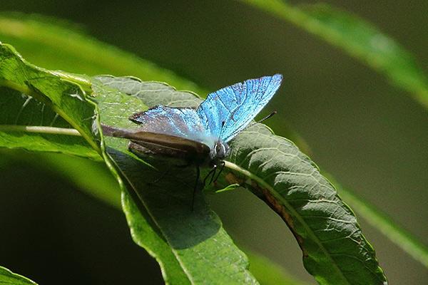 メスアカミドリシジミ-14