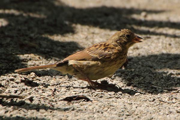 ホオジロ(幼鳥)-204