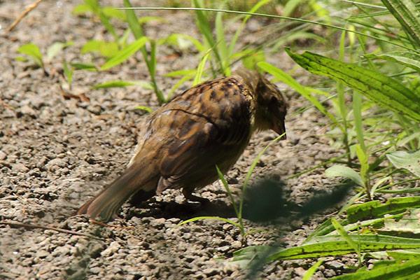 ホオジロ(幼鳥)-205