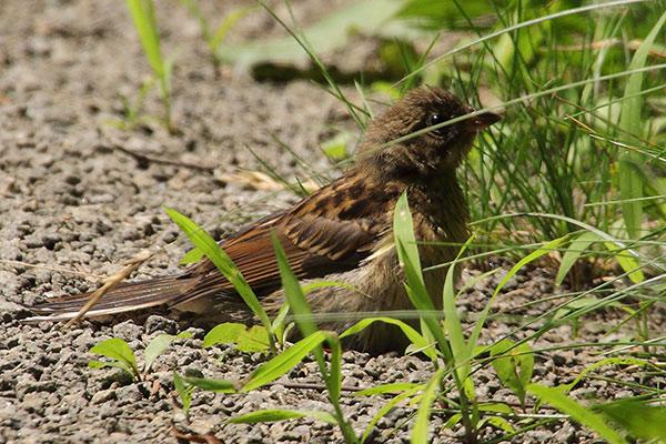 ホオジロ(幼鳥)--206