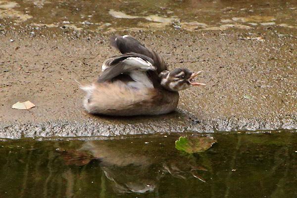カイツブリ幼鳥-22