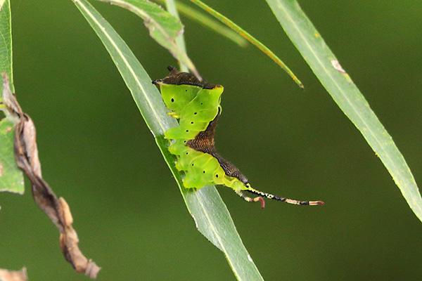 モクメシャチホコ幼虫-1