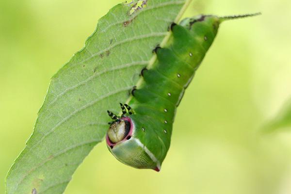 モクメシャチホコの幼虫-5