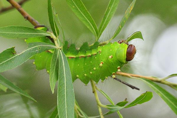 オオミズアオの幼虫-1
