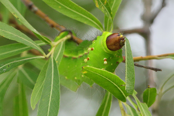 オオミズアオの幼虫-2