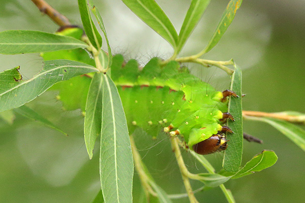 オオミズアオの幼虫-3