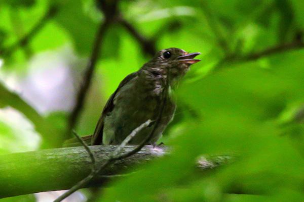 サメビタキ幼鳥-3