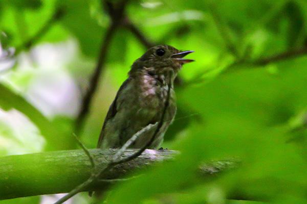 サメビタキ幼鳥-4