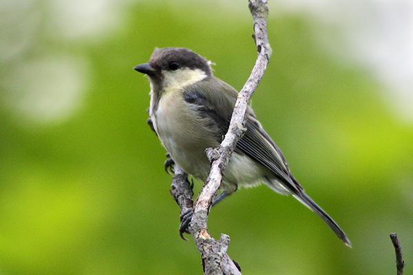 シジュウカラ(幼鳥)-10