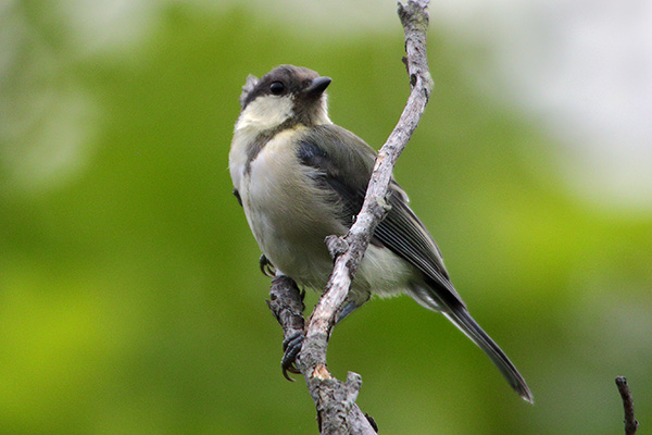 シジュウカラ(幼鳥)-11