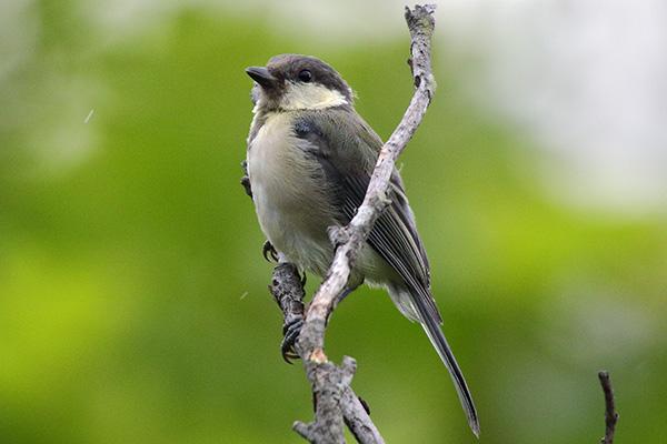 シジュウカラ(幼鳥)-12