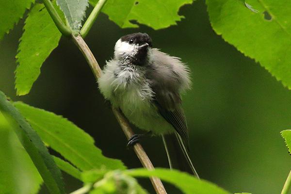 シジュウカラ(幼鳥)-16