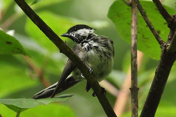 シジュウカラ(幼鳥)-17