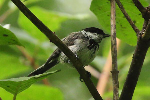 シジュウカラ(幼鳥)-18
