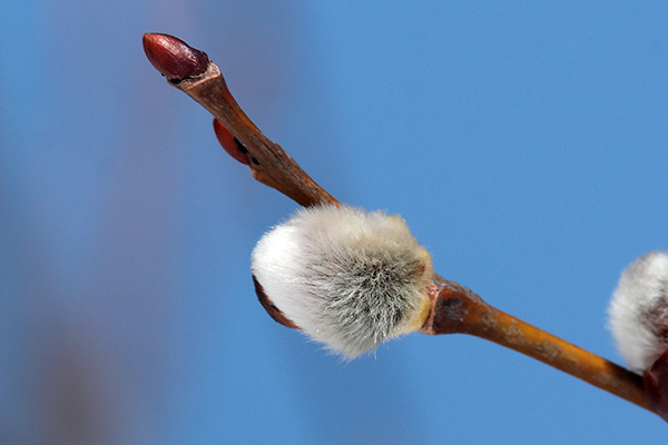 バッコヤナギ花芽-3