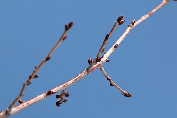 エゾヤマザクラ冬芽1