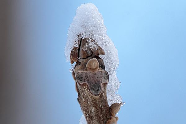オニグルミ冬芽-1