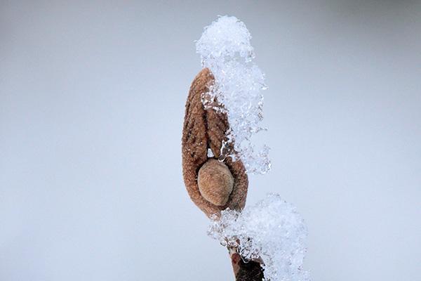 オオカメノキ冬芽-2
