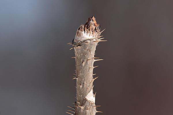 タラノキ冬芽-1