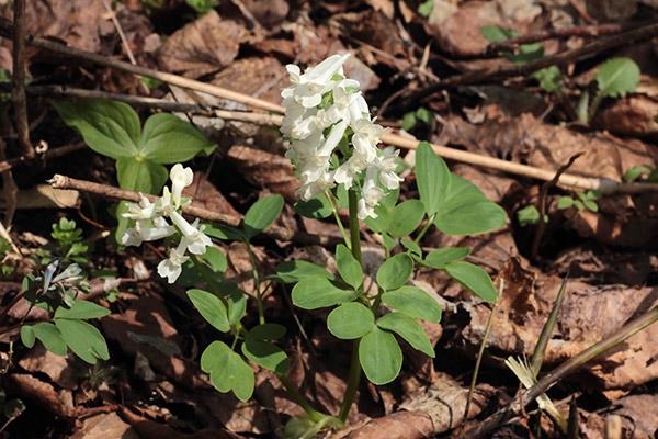白花エゾエンゴサク-1