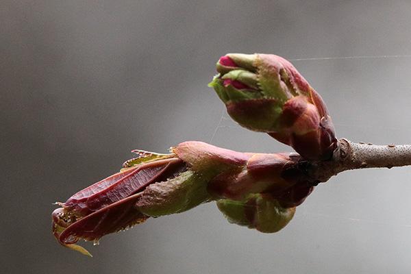 エゾヤマザクラ花芽-2