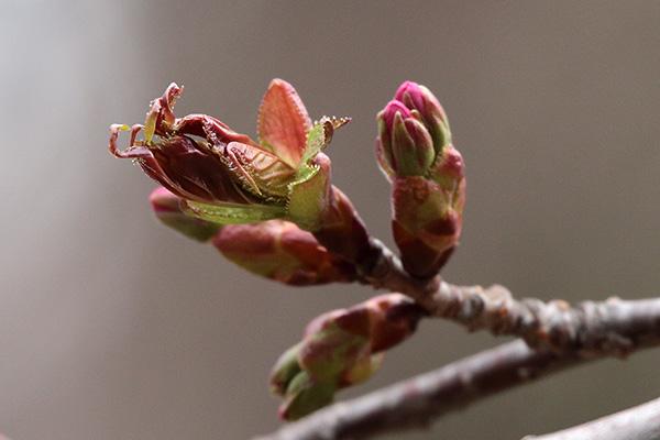 エゾヤマザクラ花芽-3