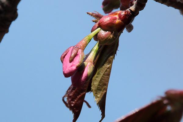 エゾヤマザクラ花芽-5