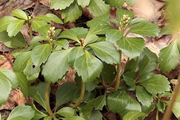 フッキソウ花芽-1