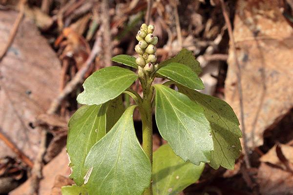 フッキソウ花芽-2