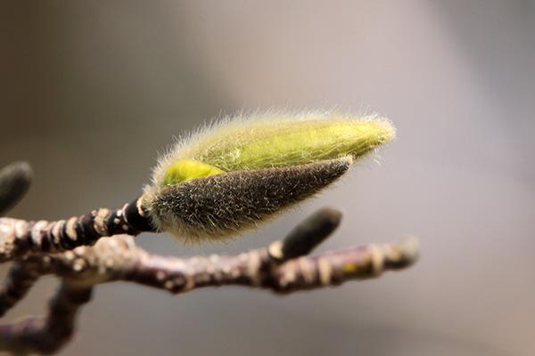 キタコブシ花芽-2