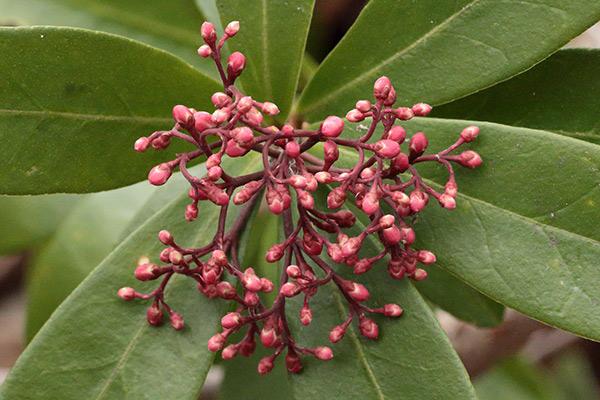 ツルシキミ花芽-2