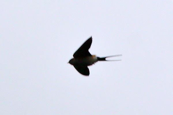 コシアカツバメ-2