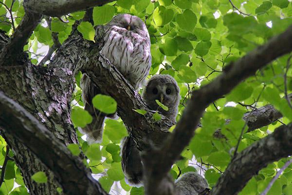 エゾフクロウ雛と親鳥