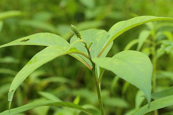 オカトラノオ花穂-1