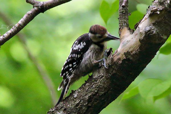 オオアカゲラ幼鳥-111