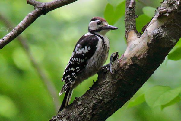 オオアカゲラ幼鳥-112