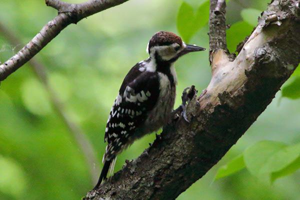 オオアカゲラ幼鳥-113