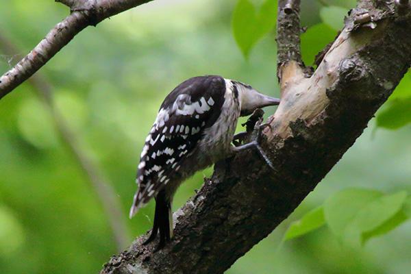 オオアカゲラ幼鳥-114