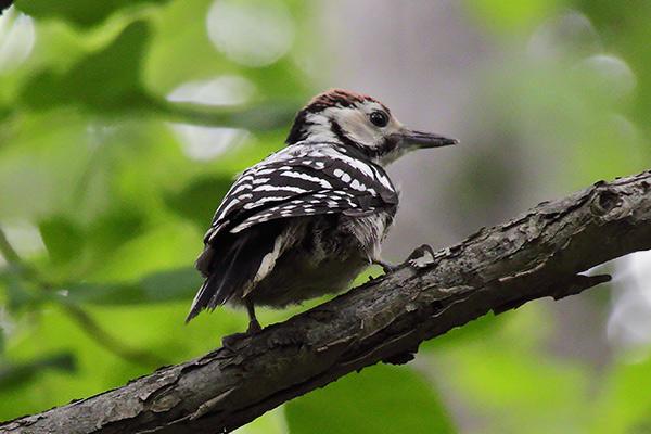 オオアカゲラ幼鳥-117
