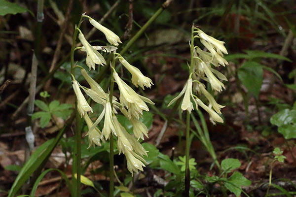 白花のサイハイラン-3