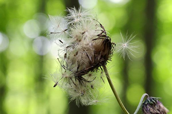 チシマアザミ花後-2