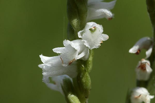 白花のネジバナ-5