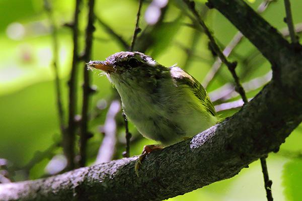 センダイムシクイ幼鳥-40