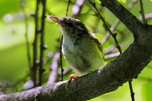 センダイムシクイ幼鳥-41