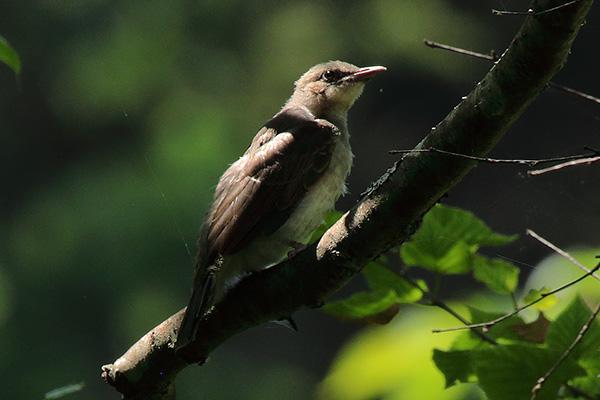 野鳥-x1
