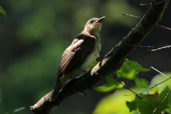 野鳥-x2